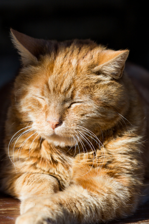 red cat resting at the sun