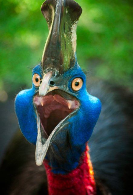 Images of Australian cassowary look into the camera angry face.