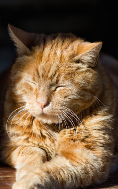 A red cat is resting at the sun